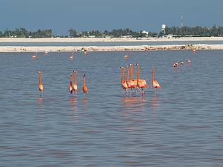 Flamingos in Mexiko