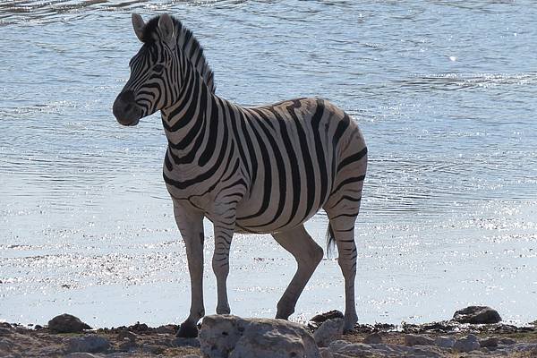 Zebra am Wasserloch in Namibia