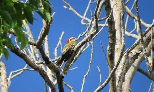 Kuba Blutfleckspecht - Cuban Green Woodpecker