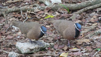 Blaukopfwachteltaube in der Schweinebucht - Blue Headed Quail Dove