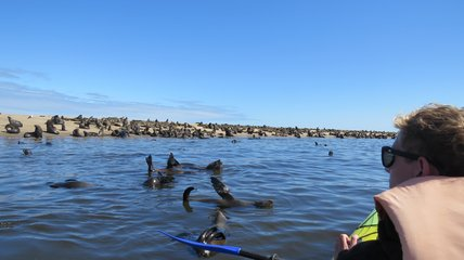 Seehunde beim Kayaking in Namibia